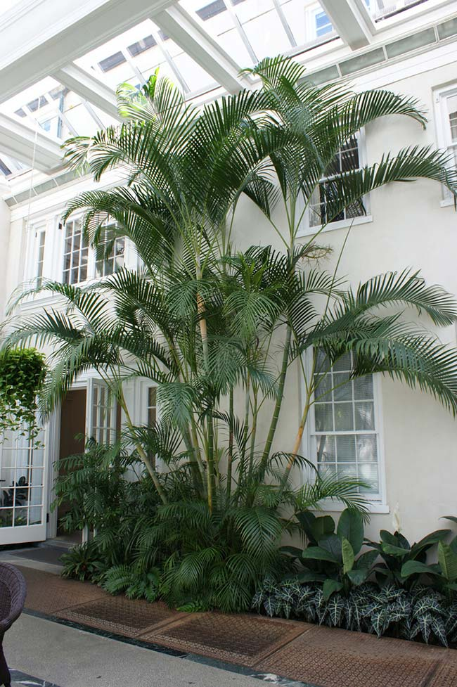 Areca palm in all its fullness