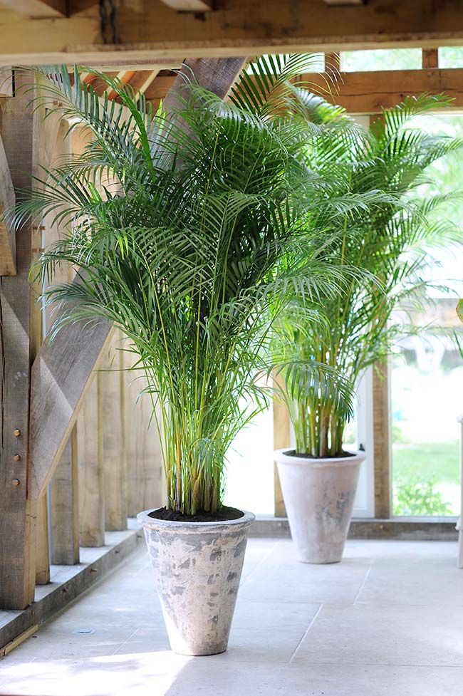 Bulky areca palm decorating the exterior corridor of the house