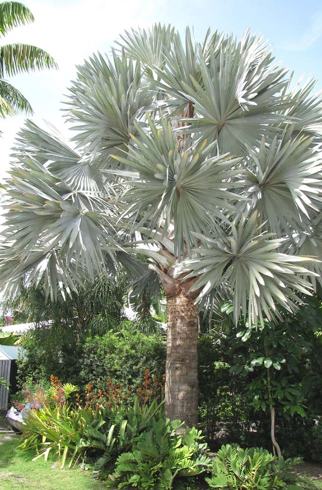 The exuberance of a mature blue palm