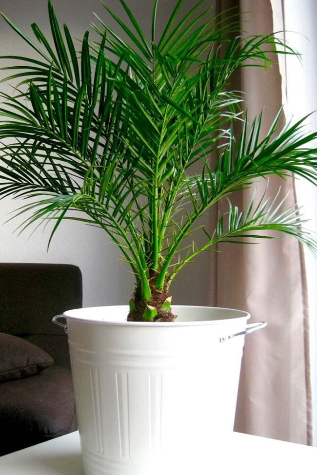 Phoenix palm tree at home