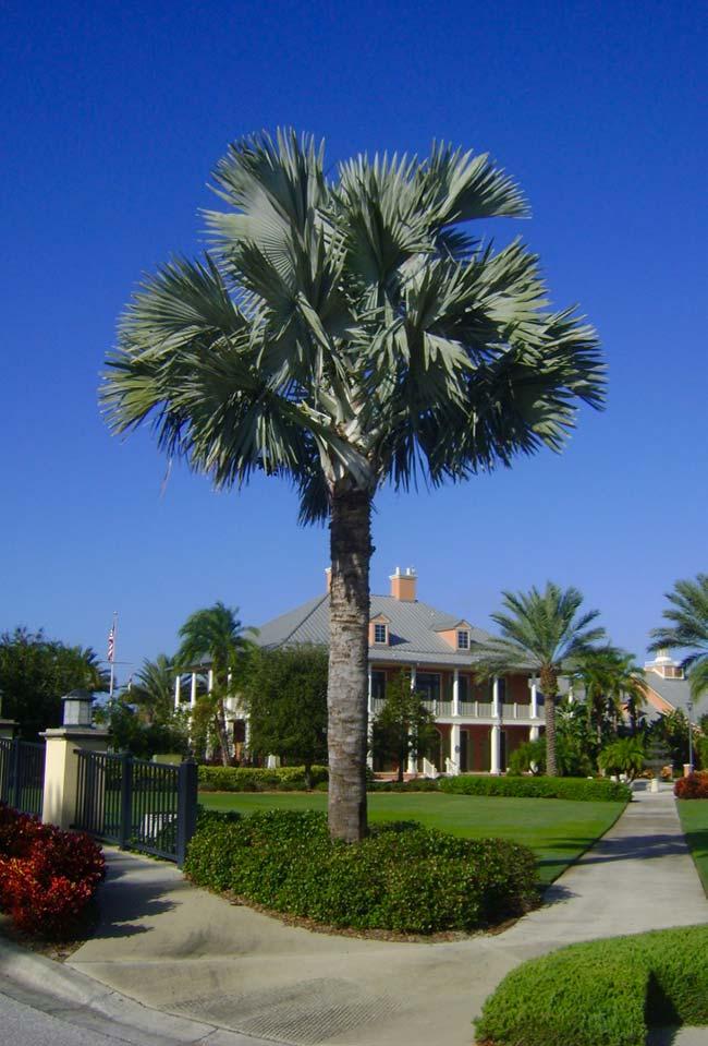 Blue palm tree 25 meters high