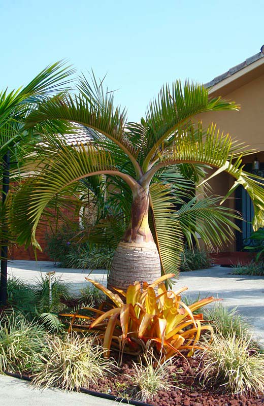 The leaves of the bottle palm are also very striking