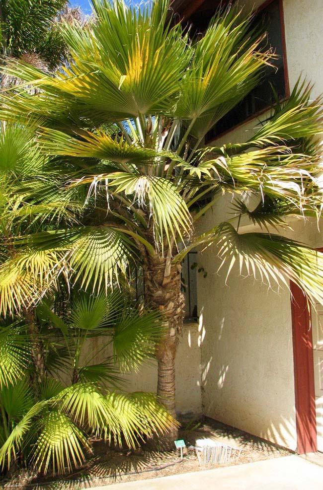 Bulky fan palm leaves