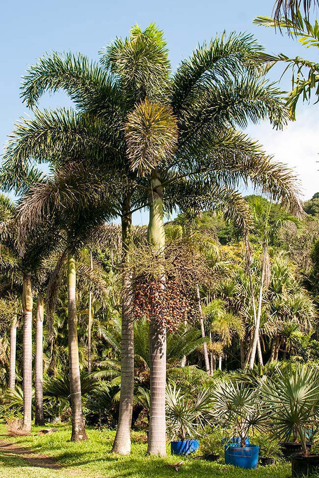 Palm Rabo de Raposa has red fruits