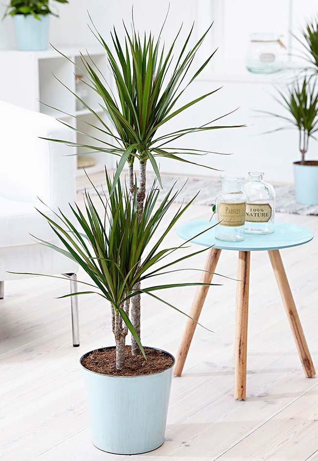 Raffia palm is easy to grow indoors