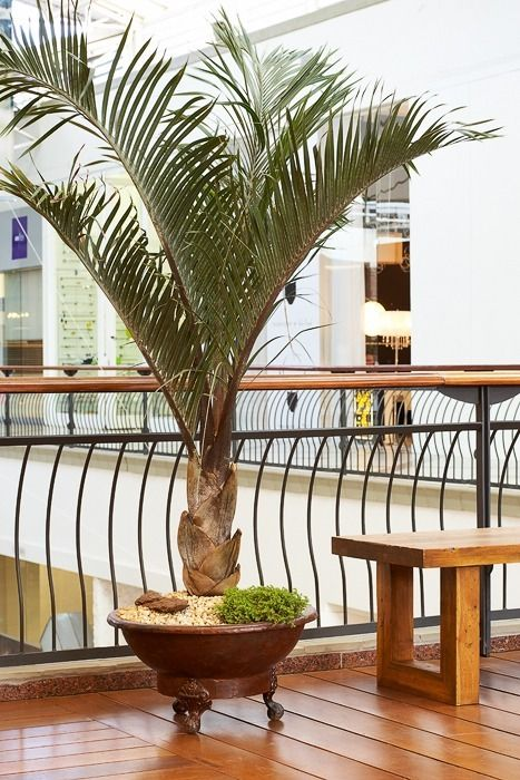 Common type of palm tree in shopping malls