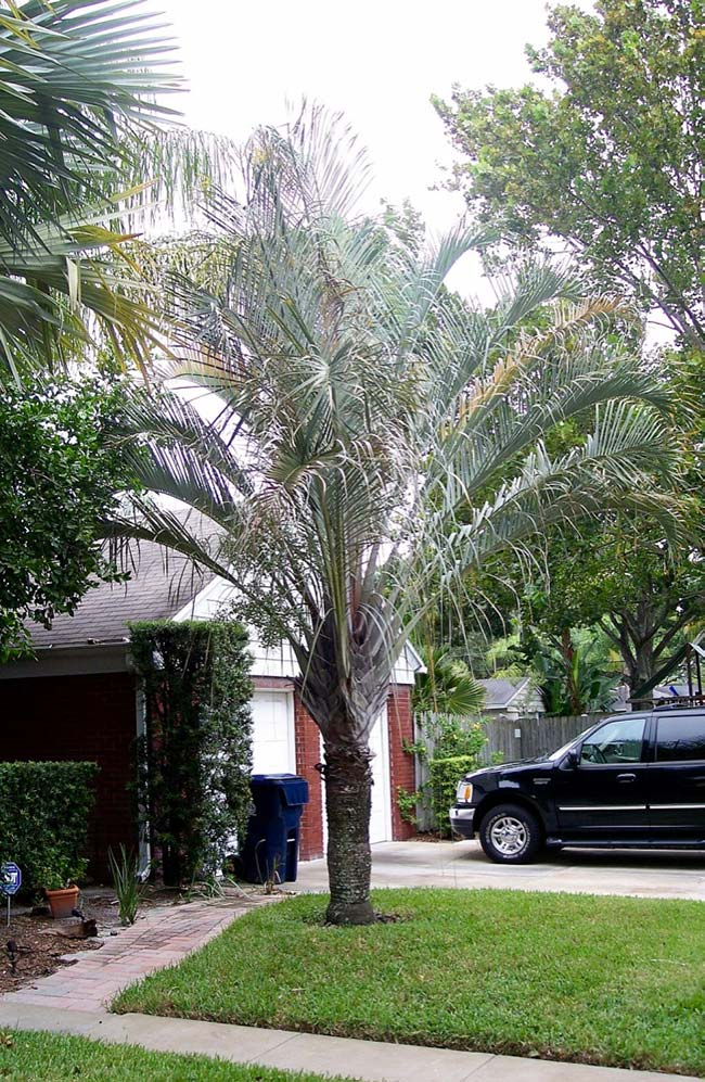Triangle palm also has slightly grayish leaves