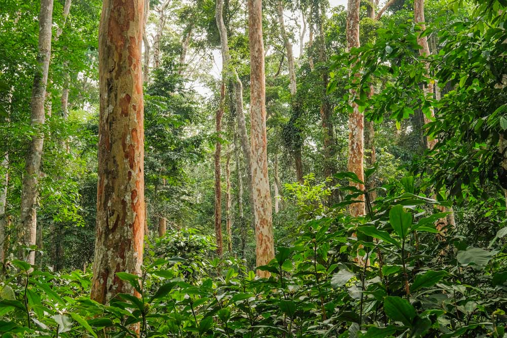 Congo forest