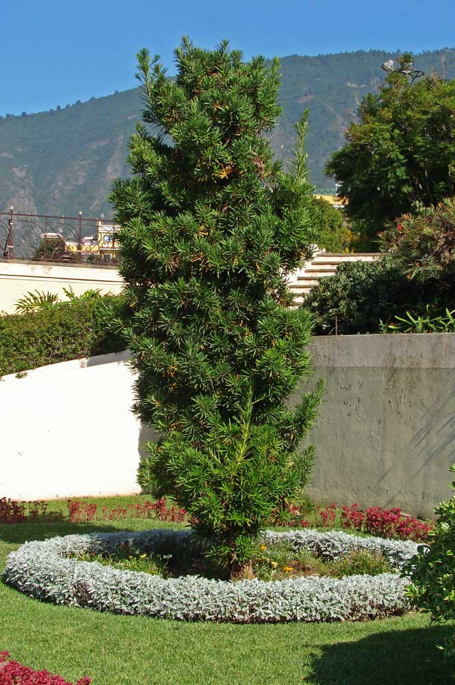Podocarp garden: here, the pine tree is the center of attention