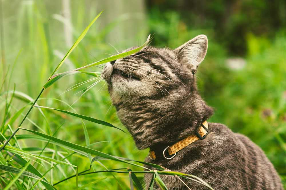 Why do cats eat plants?