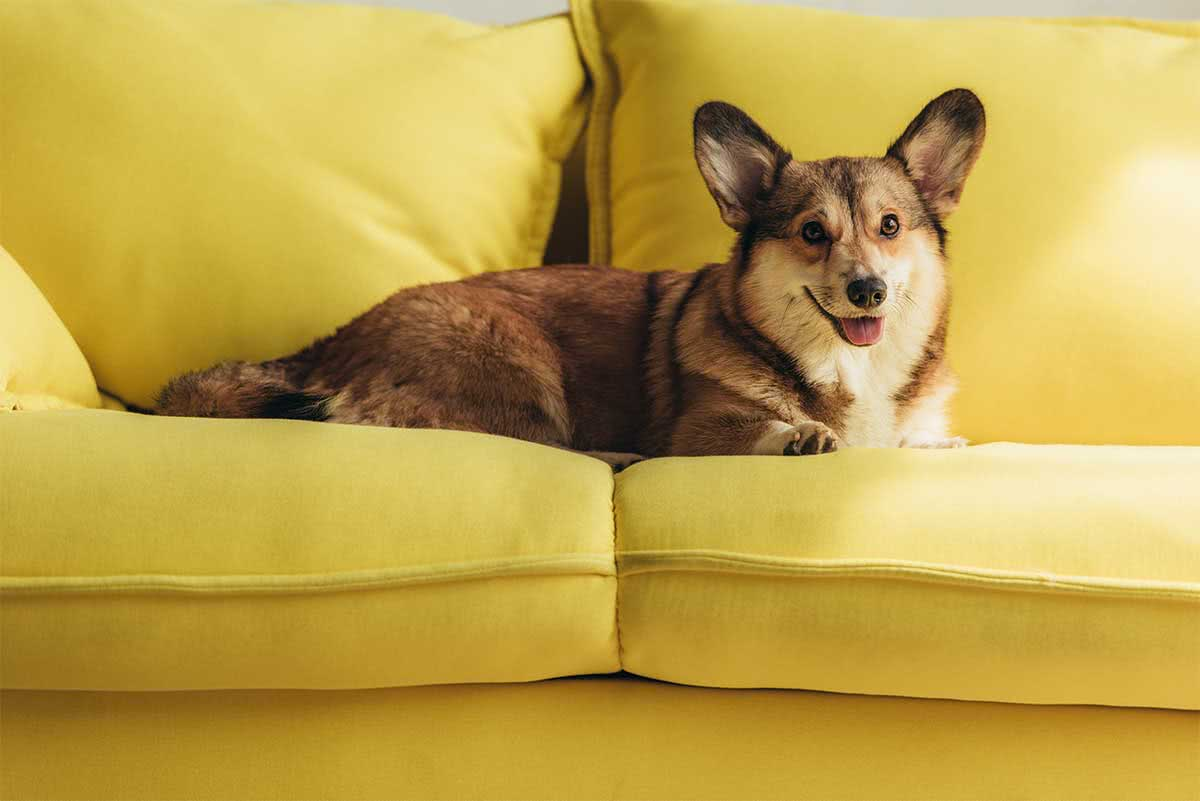 How to remove dog pee smell from upholstery