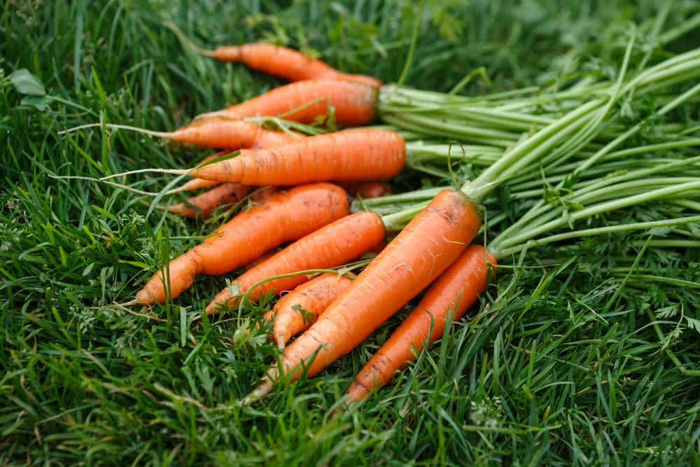 How to plant carrots with the stalk