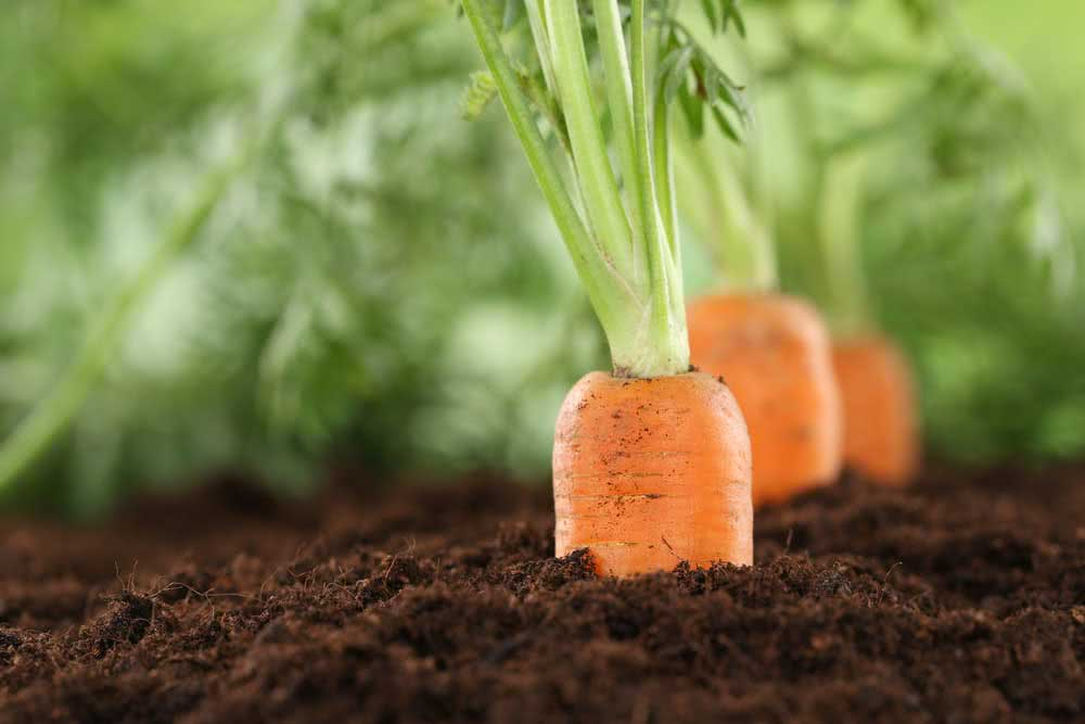 How to plant carrots in a pet bottle