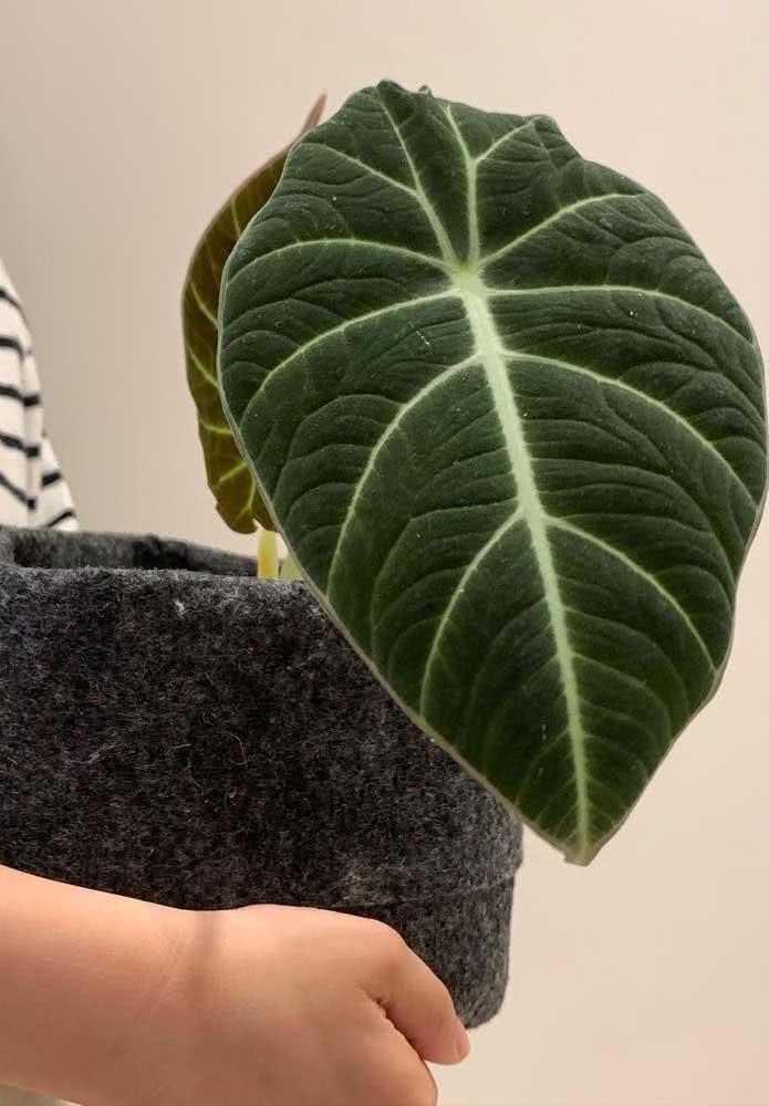 A luxury the leaves of Alocasia Black Velvet