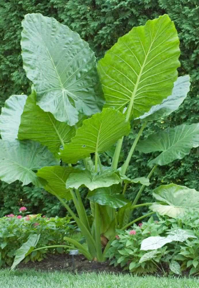 Giant clump of Alocasia for the tropical garden